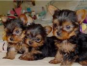 Akc Teacup Yorkie Puppies For Adoption